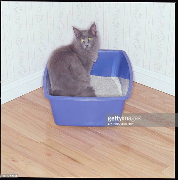 gray cat in kitty litter box - litter box stock photos and pictures