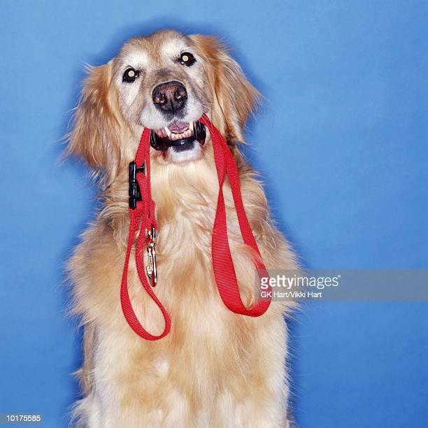 golden retriever with red leash in mouth - pet lead stock pictures, royalty-free photos & images