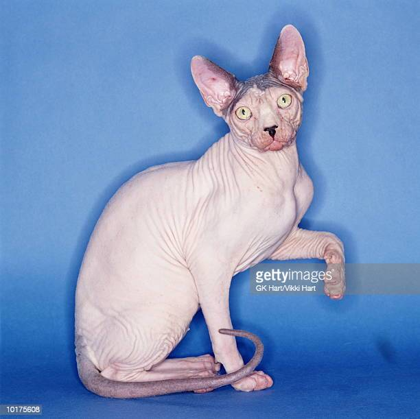 hairless cat posing with blue background - ugly cat stock photos and pictures
