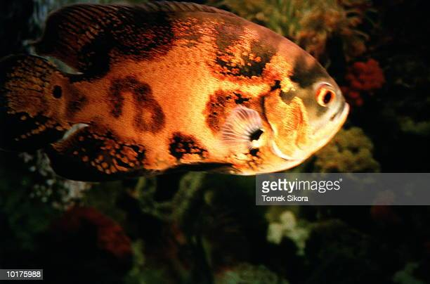 colorful fish, close-up - vertebrate stock pictures, royalty-free photos & images