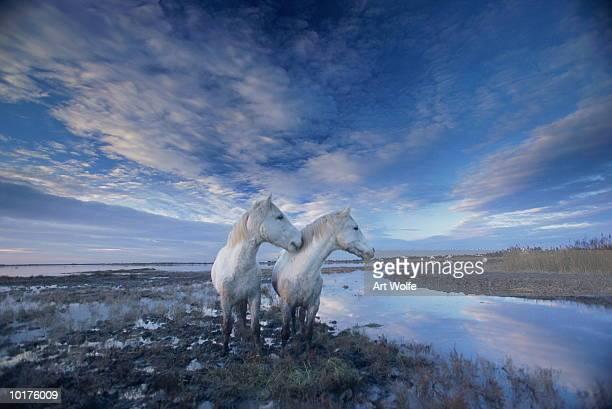 WILD HORSES (EQUUS CABALLUS) FRANCE