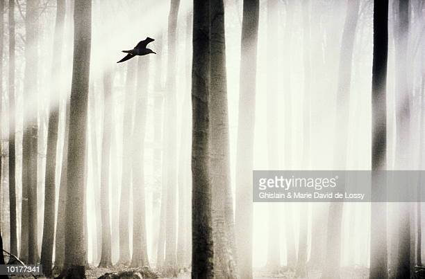 BIRD FLYING AMONG TREES, EUROPE