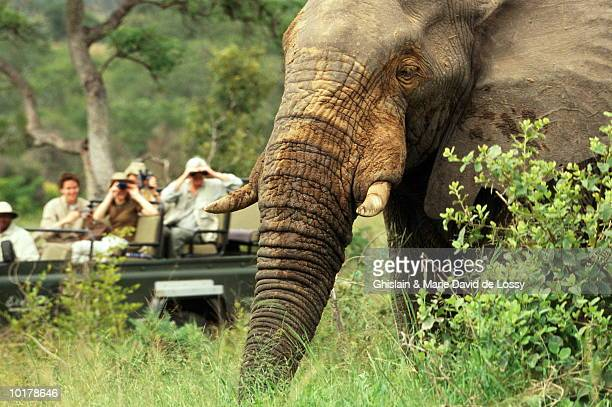 elephant open field with  people in background - safari stock pictures, royalty-free photos & images