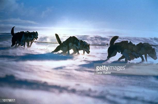 DOGSLEDDERS PULLING  IN SNOW, NORWAY