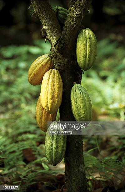 cacao fruit on tree (theobroma cacao), cameroon, africa - cameroon stock pictures, royalty-free photos & images