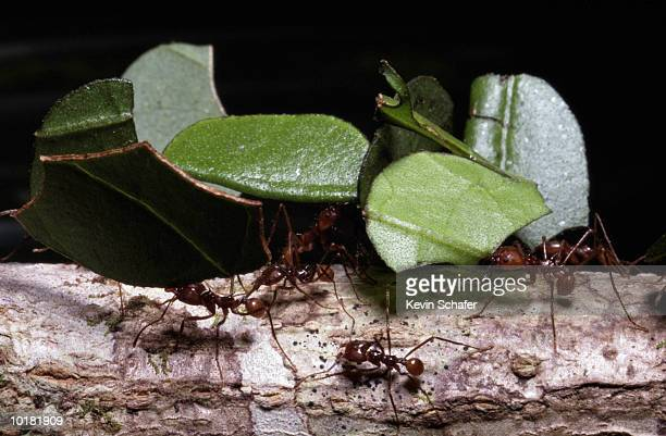 LEAF CUTTER ANT, CARRYING LEAVES