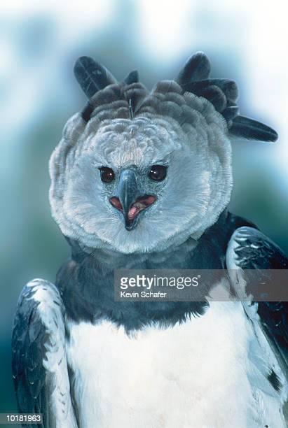 HARPY EAGLE (HARPIA HARPYJA), CENTRAL AMERICA