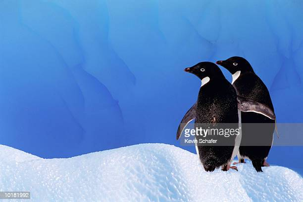 adelie penguins on iceberg, antarctica - adelie penguin stock pictures, royalty-free photos & images