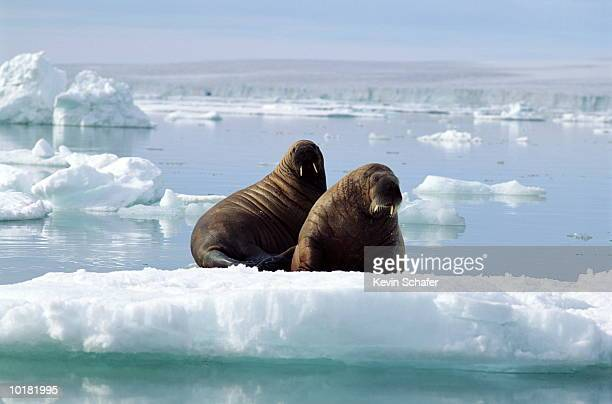 TWO WALRUSES ON A BED OF ICE, ATLANTIC