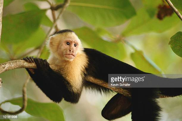 WHITE-THROATED CAPUCHIN MONKEY WITH IN TREE