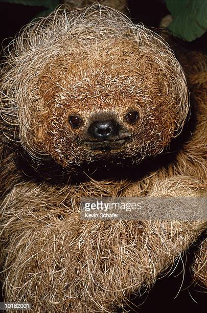 CLOSE UP OF A MANED SLOTH