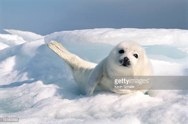 HARP SEAL PUP RESTING ON A BED OF ICE