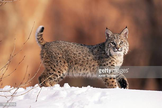 bobcat in the snow of forest, utah, usa - bobcat stock pictures, royalty-free photos & images