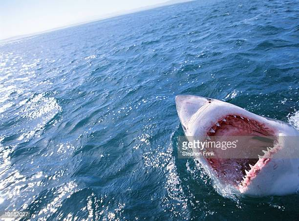 GREAT WHITE SHARK WITH MOUTH OPEN