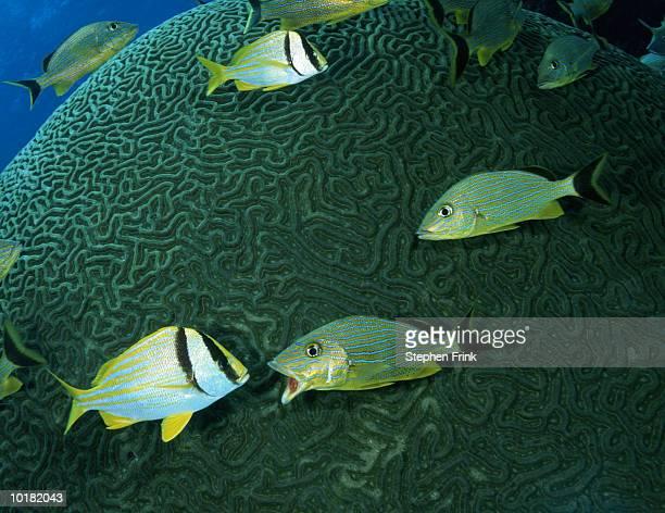 PORKFISH & BLUESTRIPED GRUNT FISH, KEY LARGO, FLORIDA