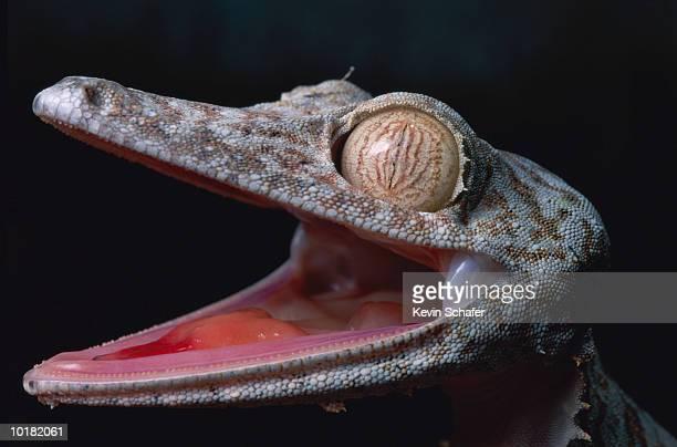 leaf tailed gecko  with mouth open - geco de cola plana fotografías e imágenes de stock