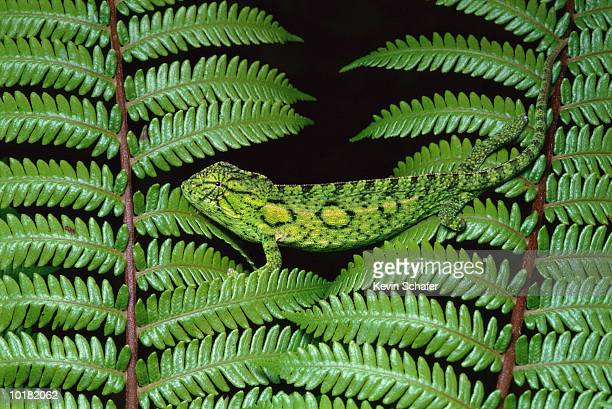 female chameleon on fern - east african chameleon stock pictures, royalty-free photos & images