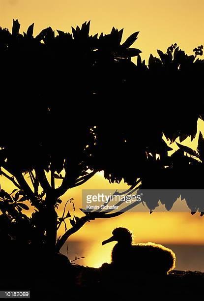 laysan albatross (diomedea immutabilis), laysan, hawaiian islands, usa - midway atoll stock pictures, royalty-free photos & images