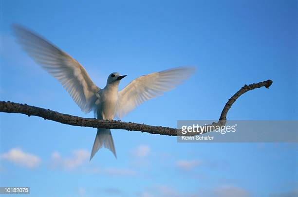 tern, white (fairy), on branch, hawaii - midway atoll stock pictures, royalty-free photos & images