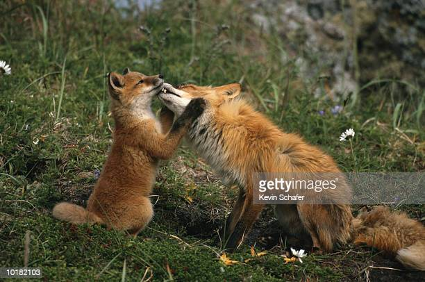 red fox mother & kit (vulpes vulpes) - volpe rossa foto e immagini stock