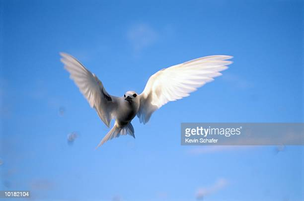 common fairy tern (gygis alba), in flight, hawaiian islands - midway atoll stock pictures, royalty-free photos & images