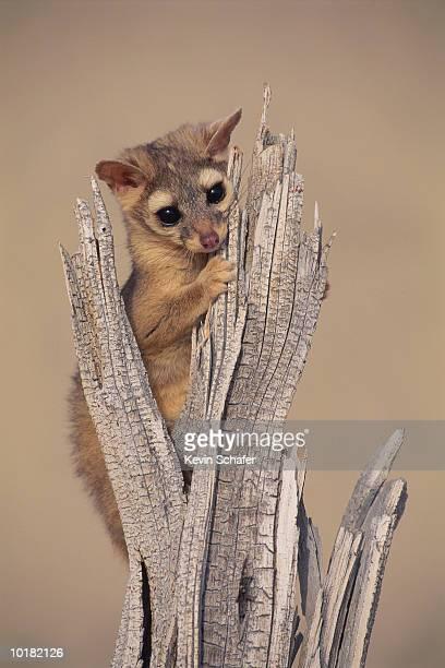 ringtail (bassariscus astutus), uinta national forest, utah - civet cat stock photos and pictures