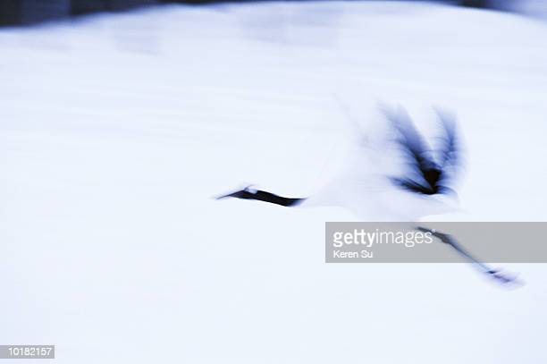 red-crowned crane (grus japonensis) in flight, snow, japan - japanese crane stock pictures, royalty-free photos & images