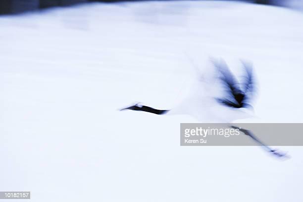 red-crowned crane (grus japonensis) in flight, snow, japan - 一匹 ストックフォトと画像