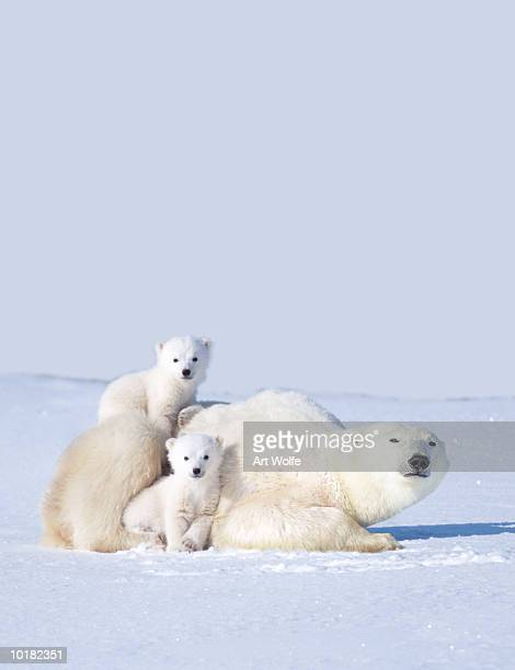 mother polar bear with cubs, canada - cub stock pictures, royalty-free photos & images