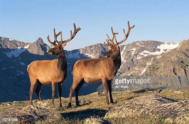 ELKS, ROCKY MOUNTAIN NATIONAL PARK