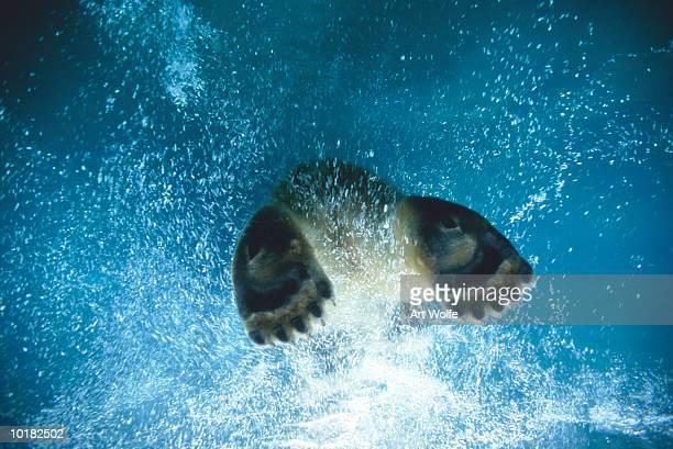 POLAR BEAR SWIMMING (URSUS MARITIMUS)