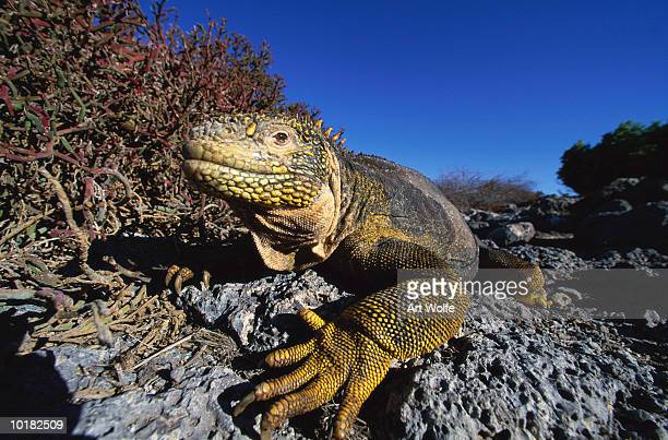 iguana (conolophus subcristatus), ecuador - land iguana stock photos and pictures
