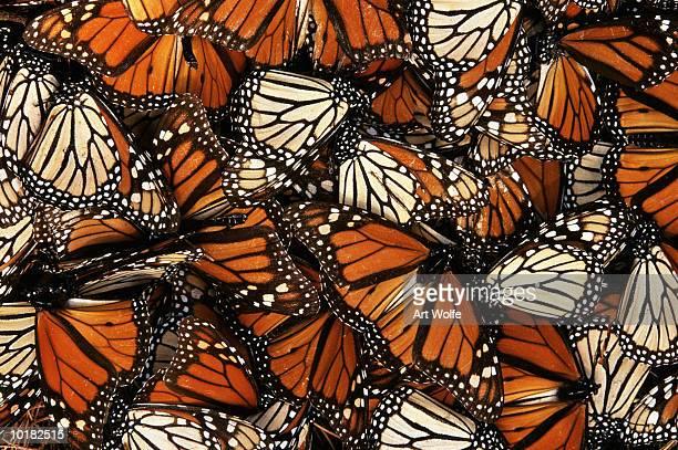 monarch butterfly (danaus plexippus) - mariposa monarca fotografías e imágenes de stock