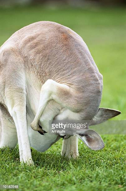 red kangaroo, (marropus rufus) - inside a kangaroo pouch stock pictures, royalty-free photos & images