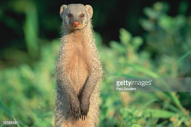 BAANDED MONGOOSE ALONG RIVER BANK AT SUNRISE