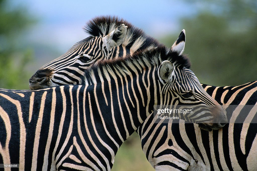 ZEBRAS STAND SIDE BY SIDE WHILE FEEDING : Stock Photo