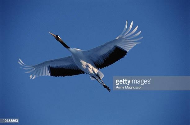 japanese crane (grus japonensis) flying, tsurui hokkaido, japan - japanese crane stock pictures, royalty-free photos & images