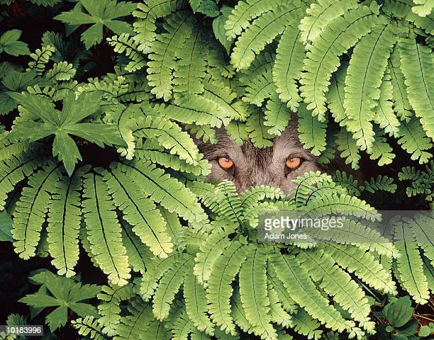 TIMBER WOLF (CANIS LUPUS) HIDING IN MAIDENHAIR FERNS
