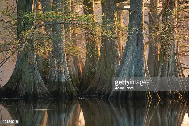 bald cypress trees (taxodium distichum) - bald cypress tree imagens e fotografias de stock