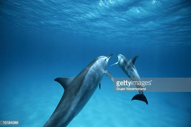 SPINNER DOLPHIN BABY & MOTHER, RED SEA