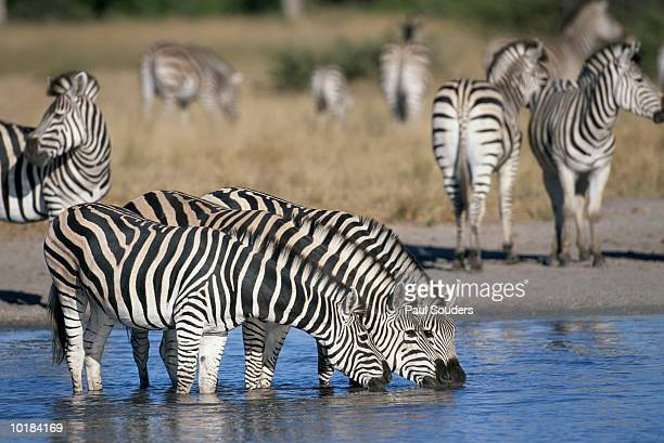 ZEBRAS DRINKING FROM WATER HOLE