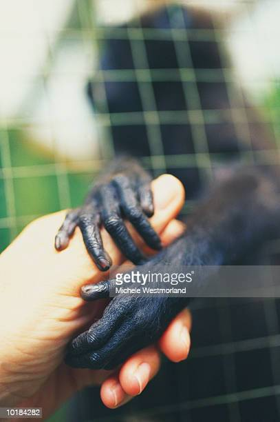 CELEBES MACAQUES (MACACA NIGRA) HOLDING HUMAN HANDS
