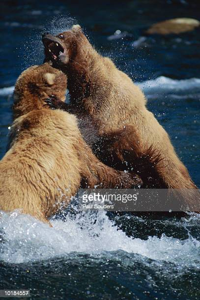 BROWN BEARS FIGHTING OVER TERRITORY