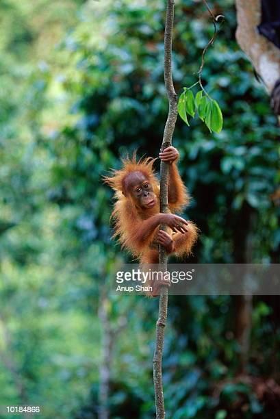 orang utan (pongo pygmaeus) on vine - orangutan stock pictures, royalty-free photos & images