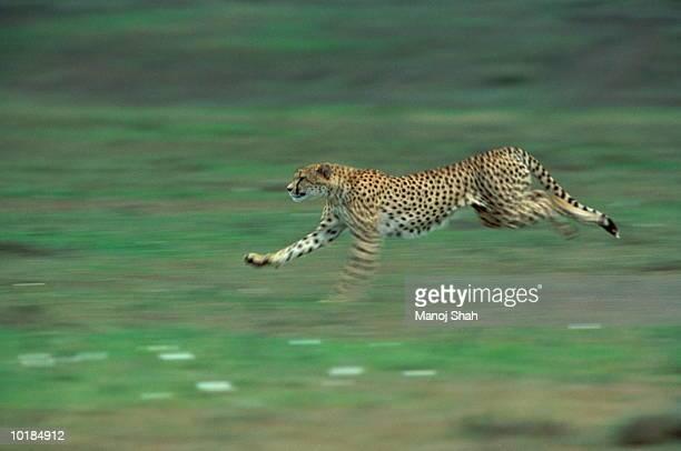 CHEETAH (ACINONYX JUBATUS) RUNNING, MAASAI MARA, KENYA, AFRICA