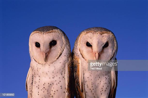 two barn owls (tyto alba), western australia - barn owl stock pictures, royalty-free photos & images