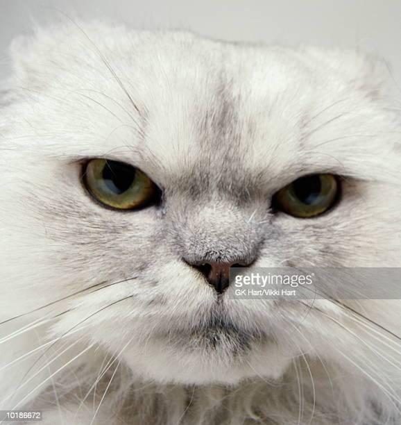 face of grey persian cat, close-up - ongeduldig stockfoto's en -beelden