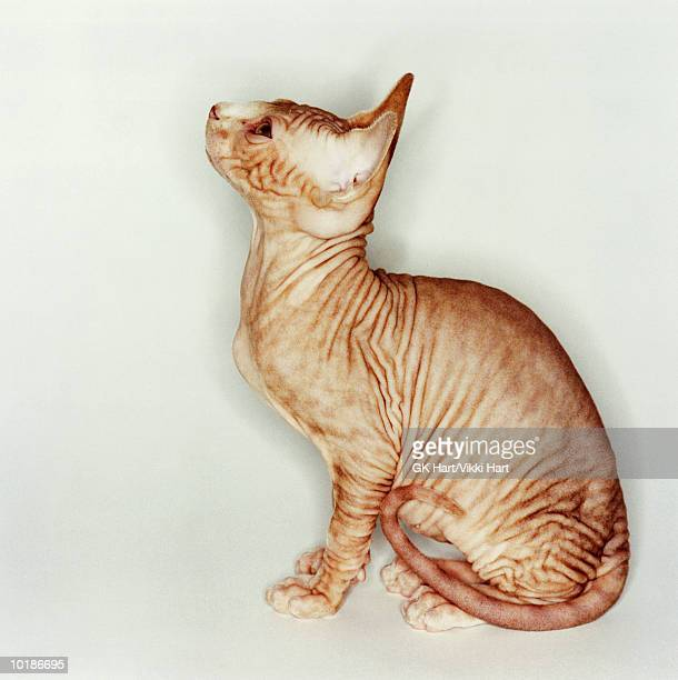 hairless sphinx cat looking upward - ugly cat stock photos and pictures