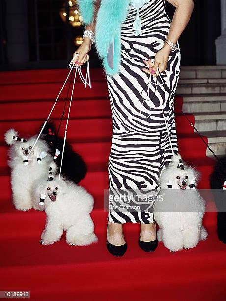 mature glamorous woman with poodles, low-section, close-up - evening wear stock pictures, royalty-free photos & images