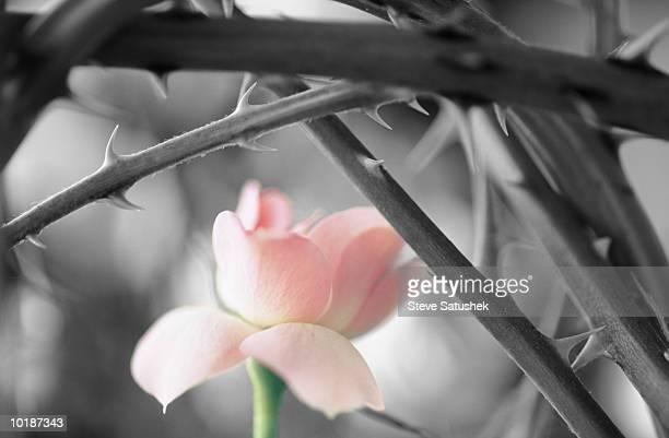pink rose among the thorns - とげ ストックフォトと画像